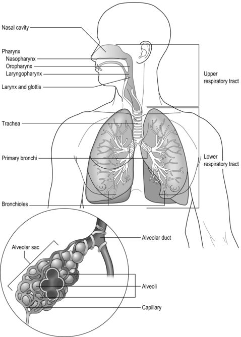 Anatomy and physiology of the respiratory system | Clinical Gate