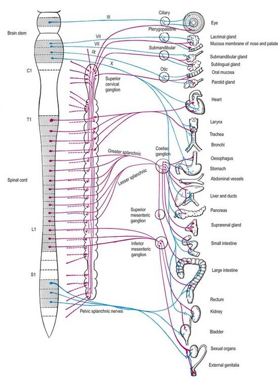 Autonomic nervous system clinical gate 211 efferent pathways of the autonomic nervous system the parasympathetic pathways are represented by blue lines and the sympathetic by red lines ccuart Choice Image