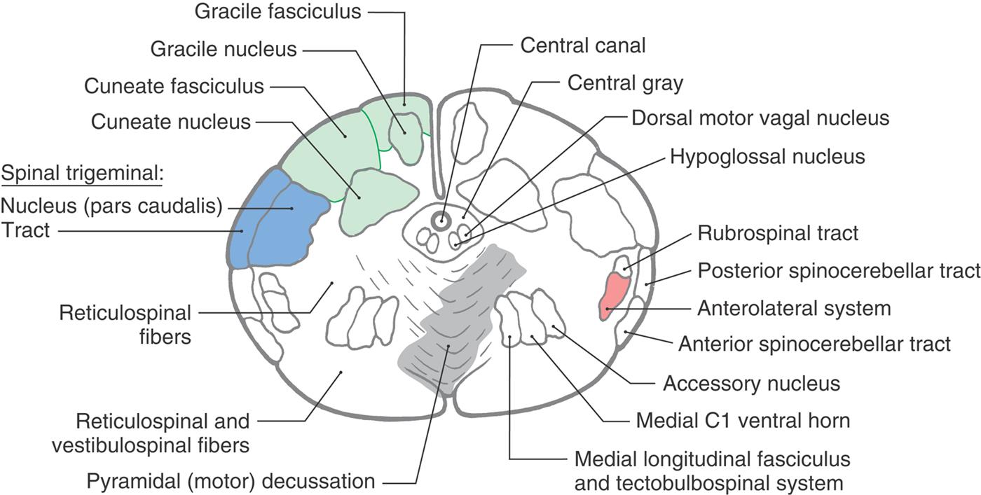 The Medulla Oblongata Clinical Gate