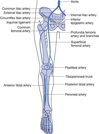 figure 56-1 arterial anatomy of the lower limb