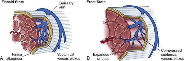Vasculogenic Erectile Dysfunction | Clinical Gate