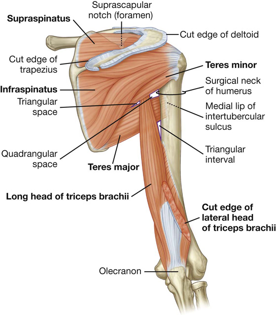 Upper Limb | Clinical Gate