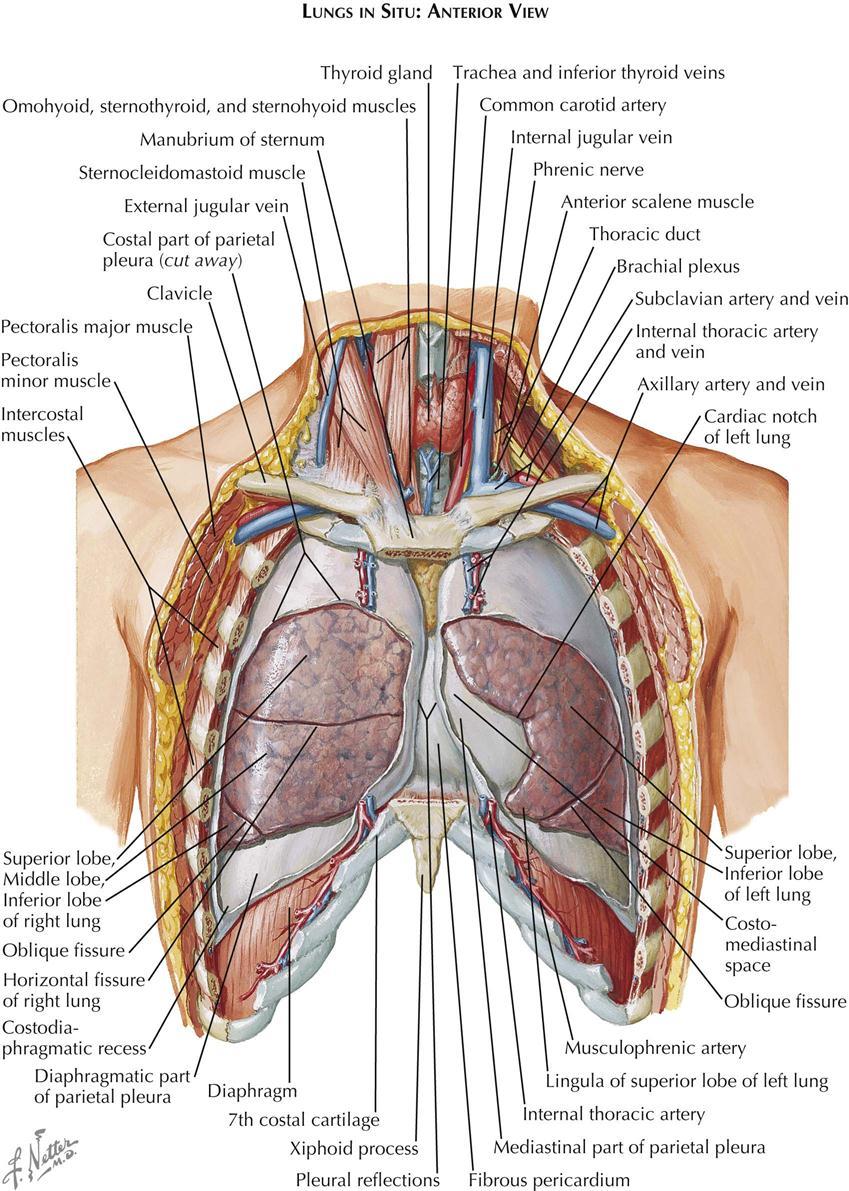 Axillary Artery - Anatomy Atlases