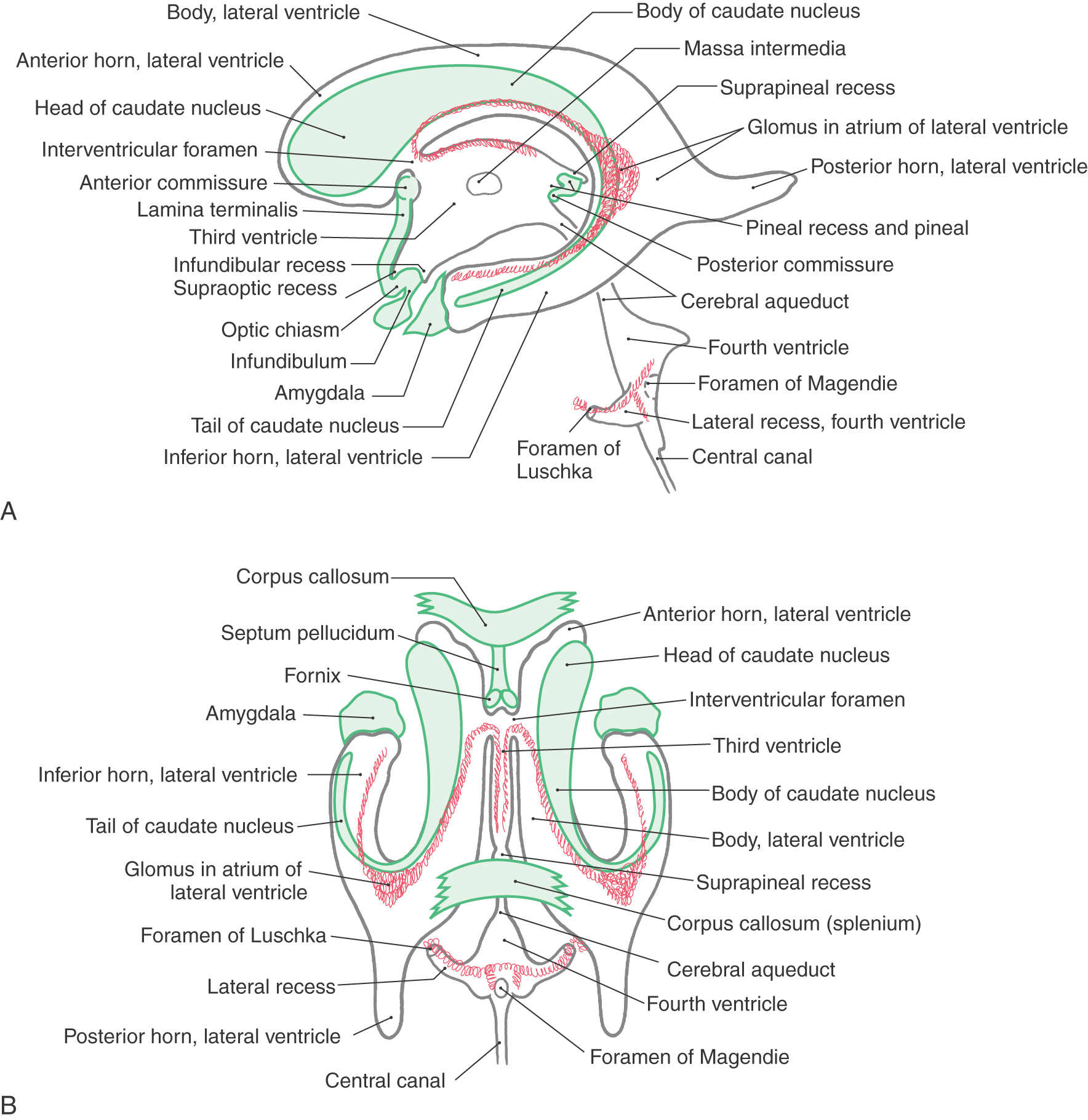 The Ventricles, Choroid Plexus, and Cerebrospinal Fluid | Clinical Gate