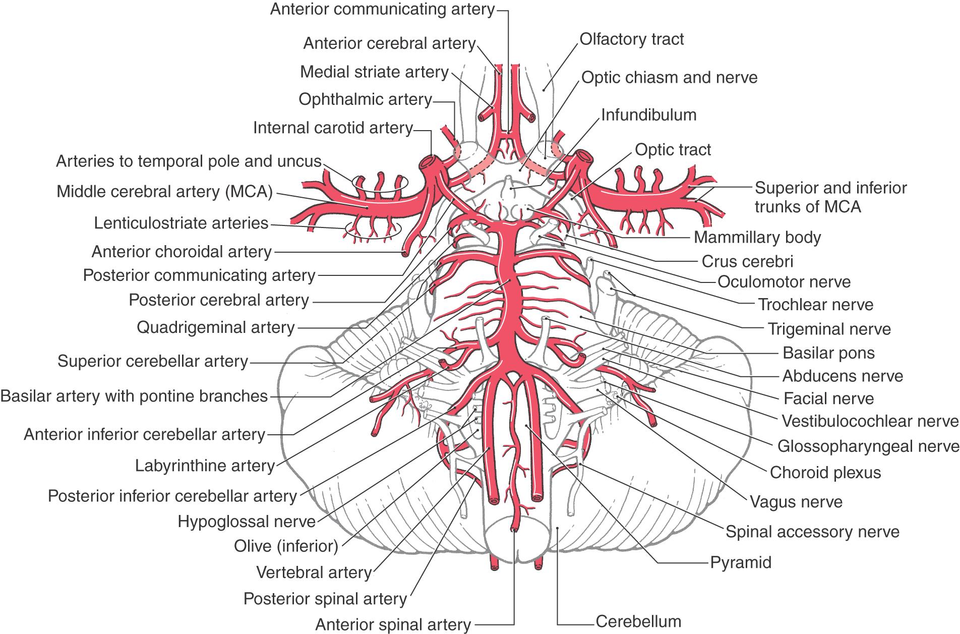 Diagram Of Cerebral Vasculature Tree - Auto Wiring Diagram Today •
