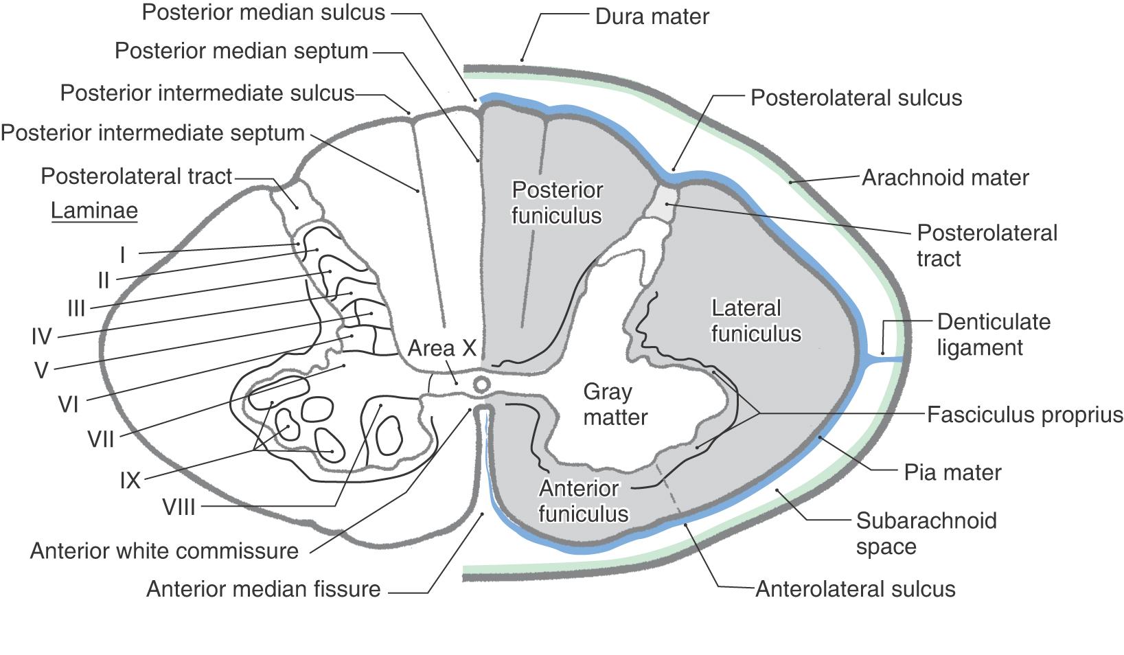 dorsal hand anatomy diagram anterior posterior hand