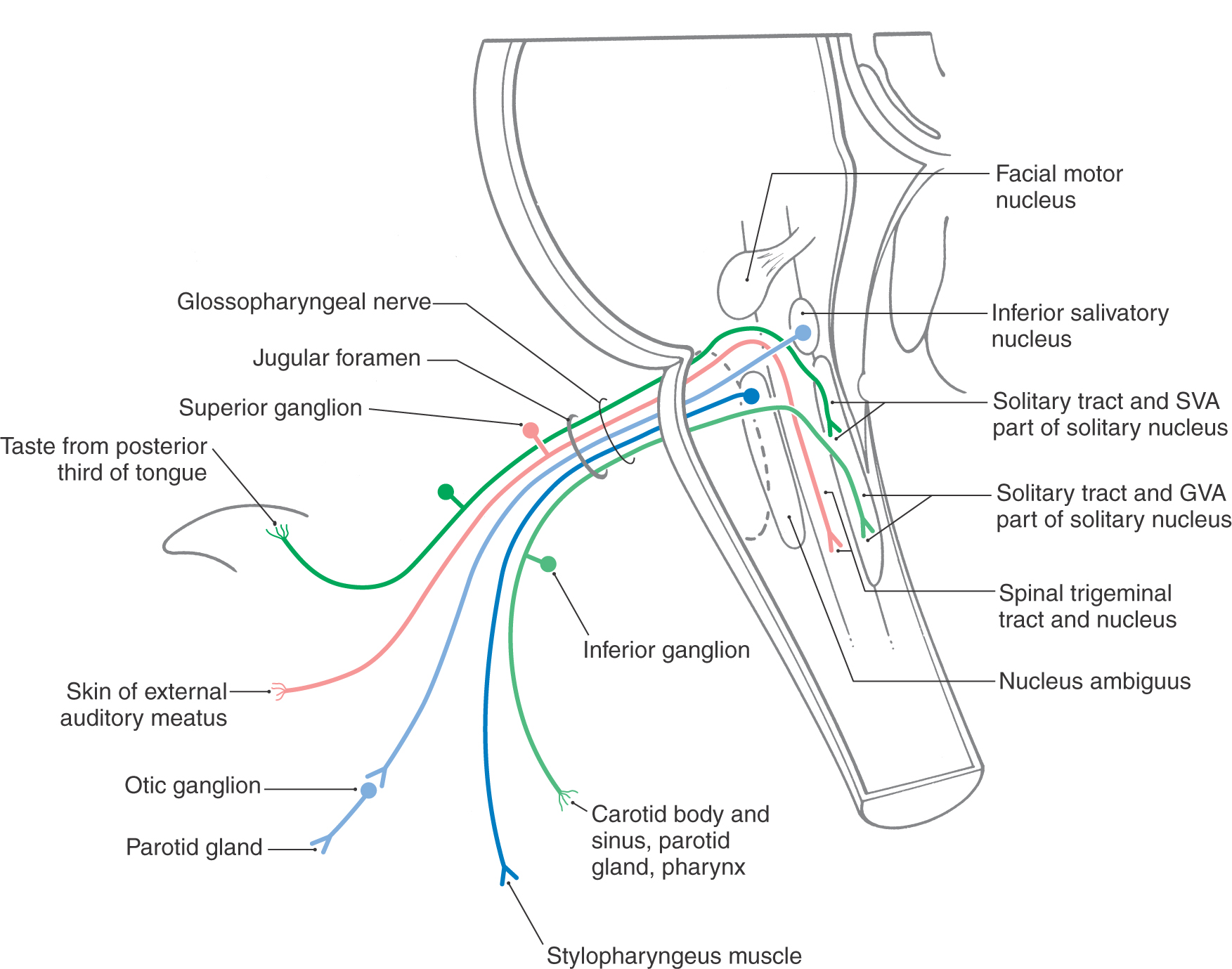 A Synopsis of Cranial Nerves of the Brainstem | Clinical Gate