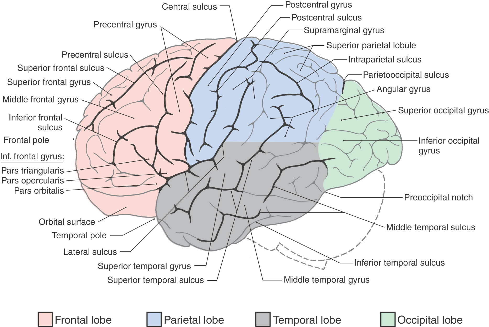 Figure 16-3. Lateral aspect of the left cerebral hemisphere showing ...