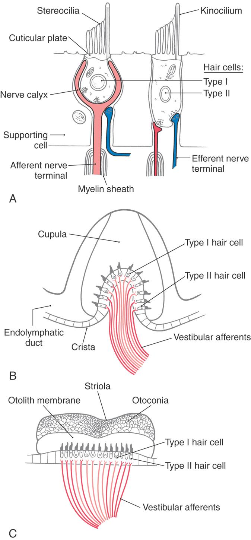 The Vestibular System | Clinical Gate