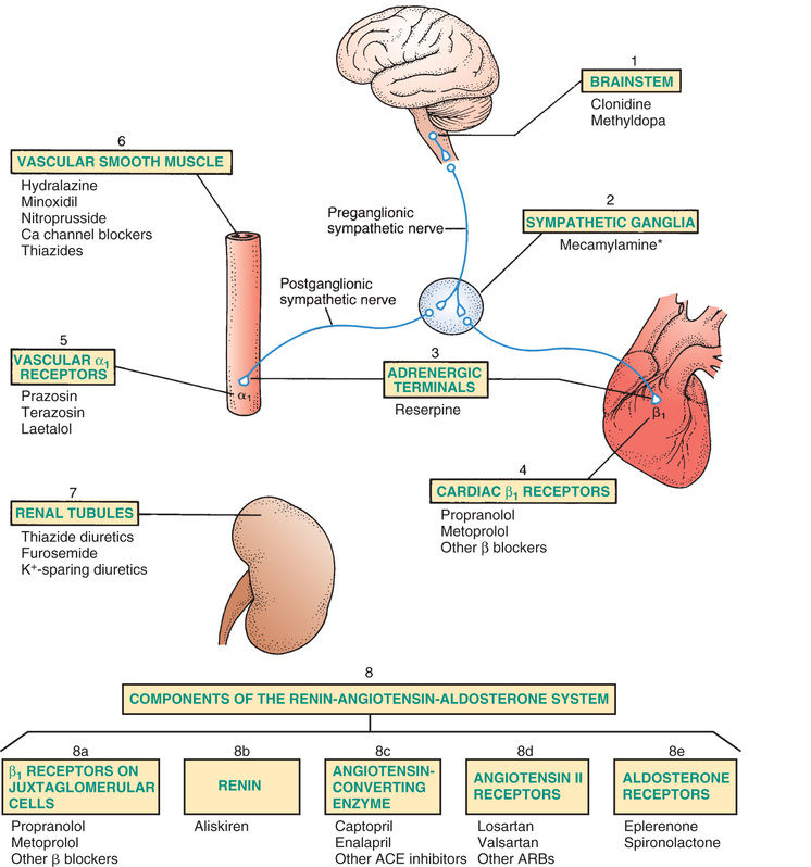 mechanism of action of drugs affecting The mechanisms of action of antihypertensive drugs william b abrams diagramatic representation of the sites of action of antihypertensive drugs affecting.